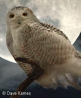 snowy owl land resized 162
