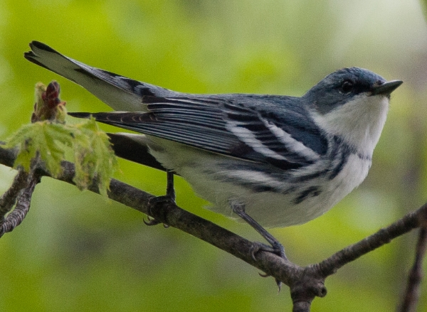 Cerulean Warbler by Christopher Wood