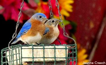 Eastern Bluebirds by Jeanne Creech