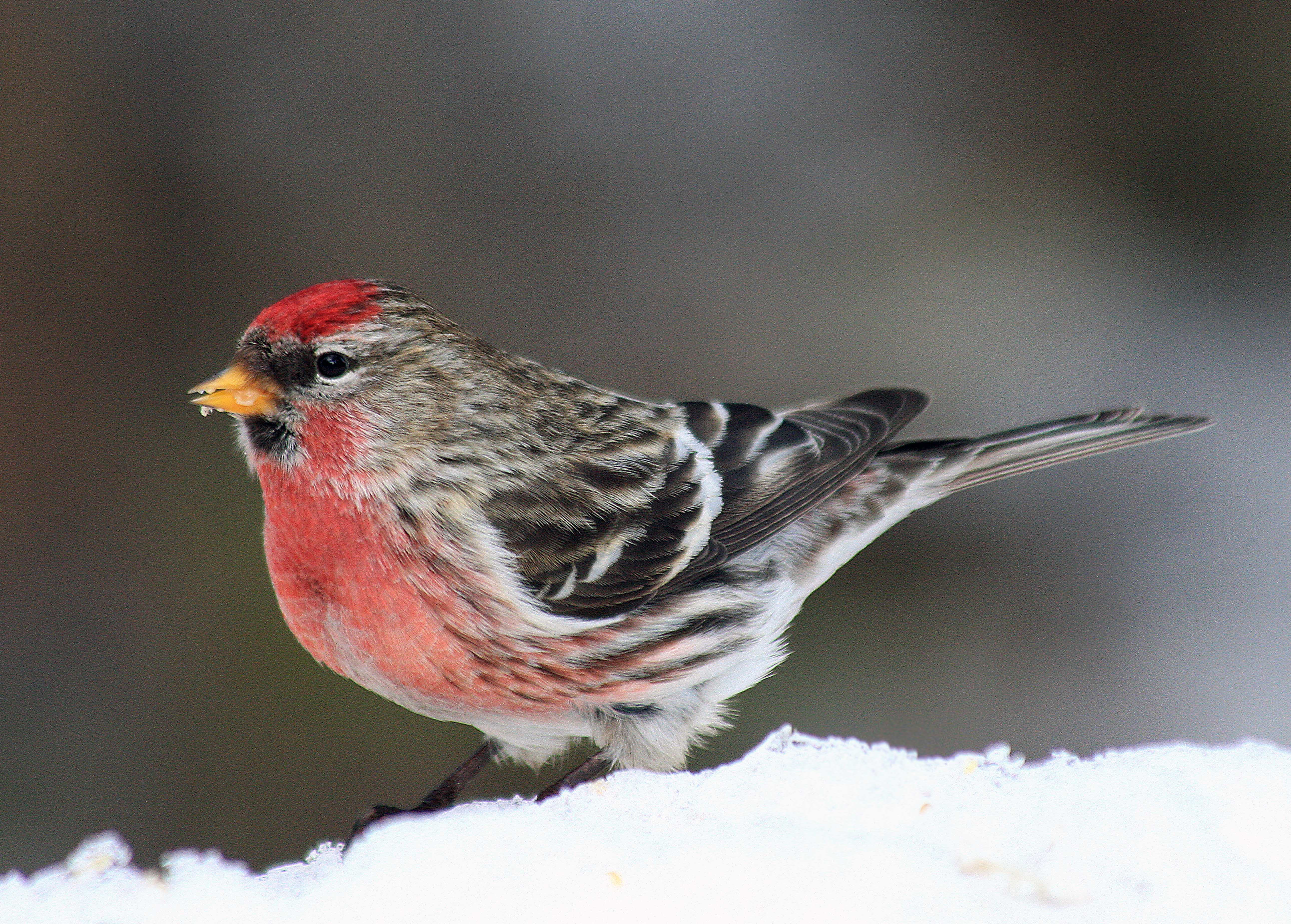 All About Birds Common Redpoll