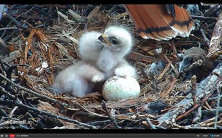 Hawk Cam Babies