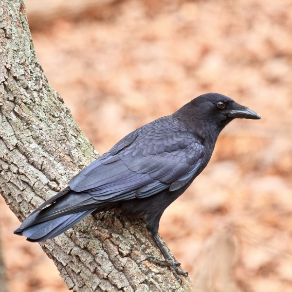 American_Crow5_Paul_Powers__GA_2012-978590-edited
