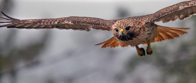 A photo of a Red-tailed Hawk facing the camera and flying against an out-of-focus white-gray background.