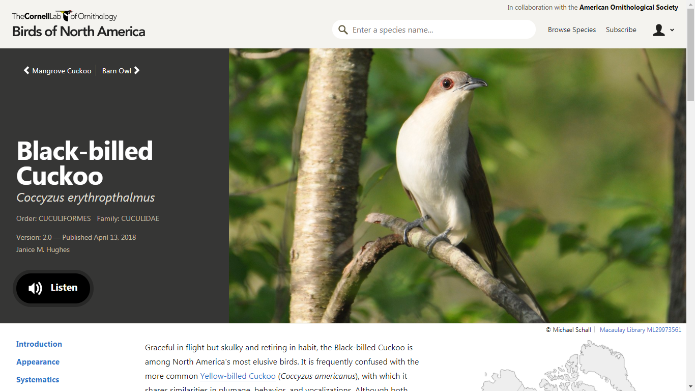 BNA Black-billed Cuckoo Account