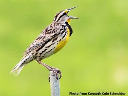 Eastern Meadowlark_Kenneth Cole Schneider