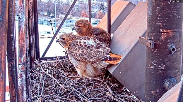Cornell Hawks_960x539