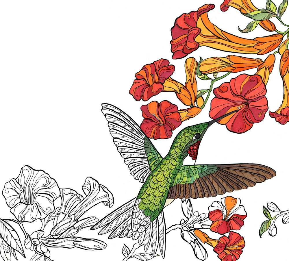Download your free Ruby-throated Hummingbird coloring page