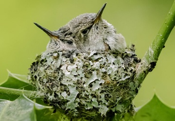 Nestwatch_Anna's Hummingbirds by Soo Baus_Edit
