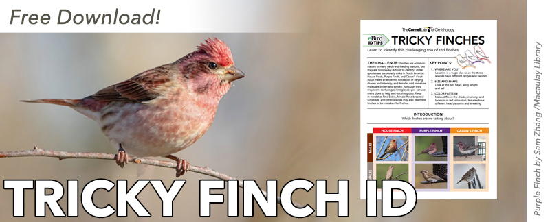 Purple Finch with screenshot of ID guide first page